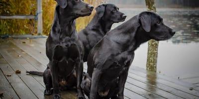 Poznaj wyjątkowe psy o czarnym umaszczeniu!