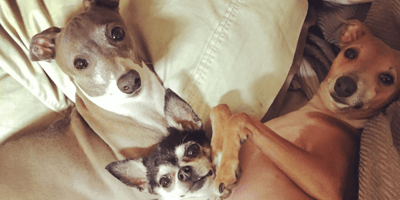 two italian greyhounds and chihuahua