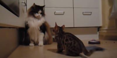 gato de bengala pelea con un maine coon