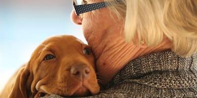 hungarian vizsla puppy hugging elderly owner