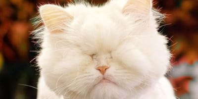 blind white persian cat