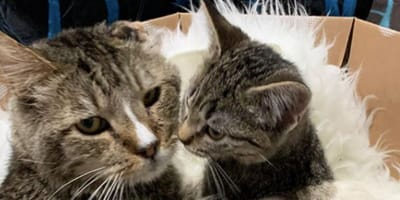 tabby cat with tabby kitten