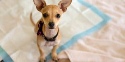 como se usa el tapete entrenador para perros