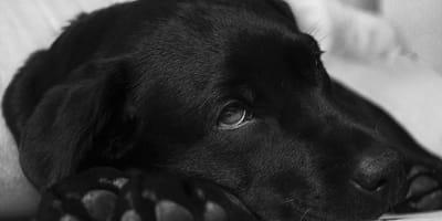 Cómo hacer vomitar a un perro sin hacerle sufrir