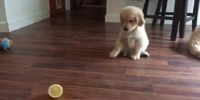 cucciolo di golden retriever gioca con un limone