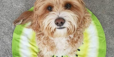 Small dog sits on cool pad