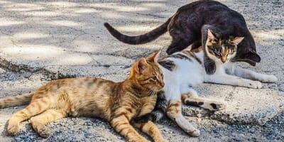 tre-gatti-sdraiati