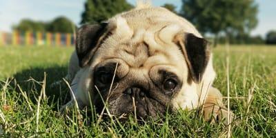 Cane steso nell'erba