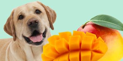 perros puede comer mango