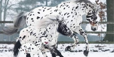 spotted horses and dalmatian running in the snow