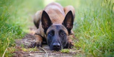 Ein schwarz brauner Malinois Hund