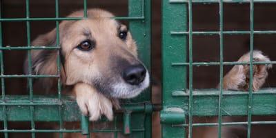 Smutny pies za kratami w schronisku