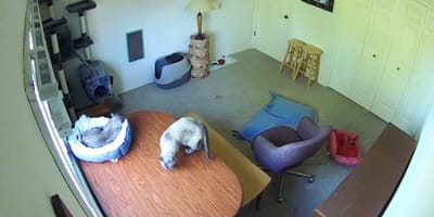 Nowy kot w domu: opiekun filmuje go z ukrytej kamery i zdaje sobie sprawę, że zaadoptował potwora!