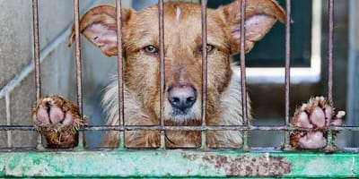 A brown dog looks out from behind cage