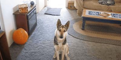 german shepherd sitting on blue-grey carpet