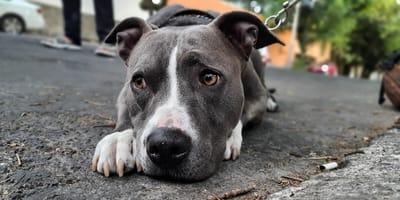 Ein grauer Pitbull auf der Straße