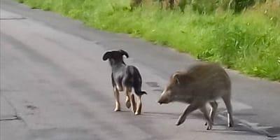 Kujawy: dzik rusza za psem, ale to co dzieje się później zaskakuje wszystkich