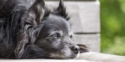 An old grey dog looks out