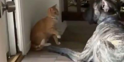 Ten sprytny kociak wystrychnął wielkiego doga na dudka! (VIDEO)