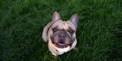 French Bulldog in the grass