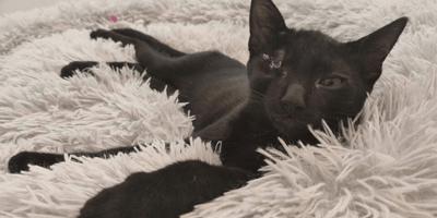 gato negro sin ojo