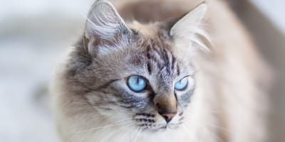 silver tabby with blue eyes