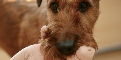 perro cuida a su peluche