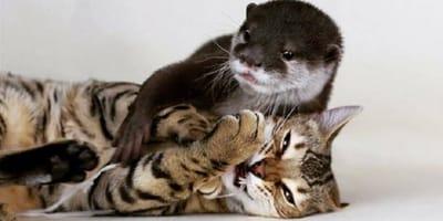 Otter und Bengalkatze