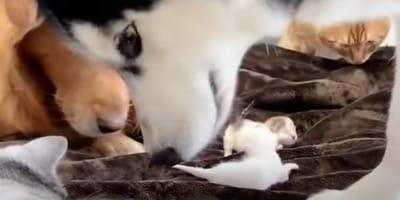 golden retriever e husky fiutano gattini appena nati