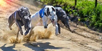 Rennen in Rekordgeschwindigkeit: Das ist der schnellste Hund der Welt