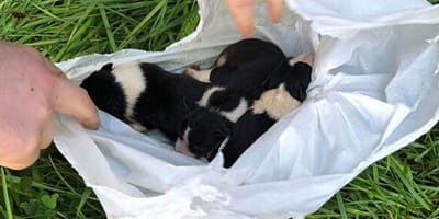 Three puppies unwrapped from plastic bag