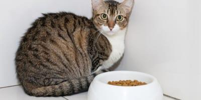 gato tumbado cerca plato pienso
