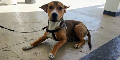 incrocio di beagle seduto sul pavimento