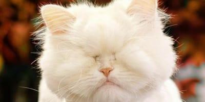 gata persa blanca sin ojos