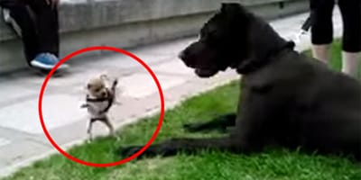 Szczeniak chihuahua daje upust frustracji. Obrywa się... dogowi niemieckiemu (VIDEO)