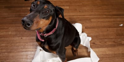 Five of the easiest dog breeds to toilet train