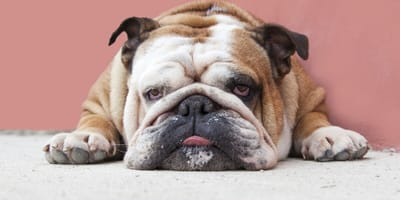 English bulldog lying on the floor looking lazy