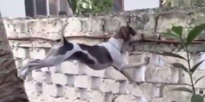 Ten pies rozciąga się jak guma, żeby zajrzeć do ogrodu sąsiada i jest to przekomiczne (VIDEO)