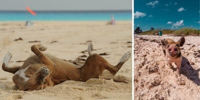 Playas para perros en Bahamas: viaja con tu mejor amigo al paraíso de los cerdos