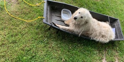 Shelter staff find senior Pyrenees strapped to sled with shameful note