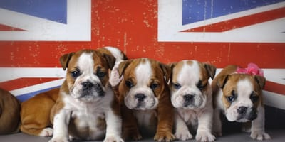 UK flag with English bulldog puppies in front
