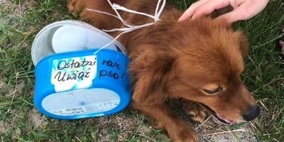 Rudy pies z pudełkami na szyi