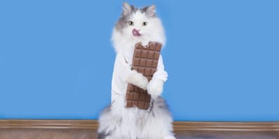 ¿El chocolate es malo para los gatos?