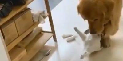 Golden retriever trzyma głowę kota w pysku