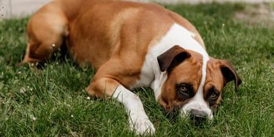 Steifer Rücken: Spondylose beim Hund