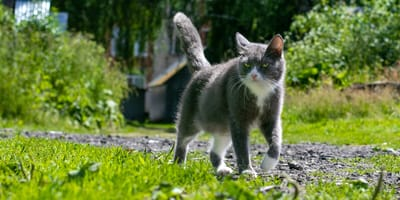 grey and white cat strolling through grass