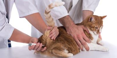 ¿Cómo saber si mi gato tiene fiebre?