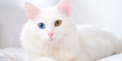 Heterochromia in cats: Why do some cats have different coloured eyes?