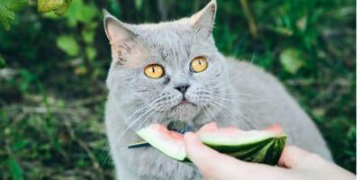 I gatti possono mangiare l'anguria? I benefici del cocomero