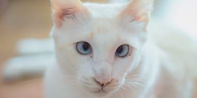 ¿Los gatos pueden tener síndrome de Down?